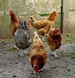 Chicken Breeds Can Be Divided